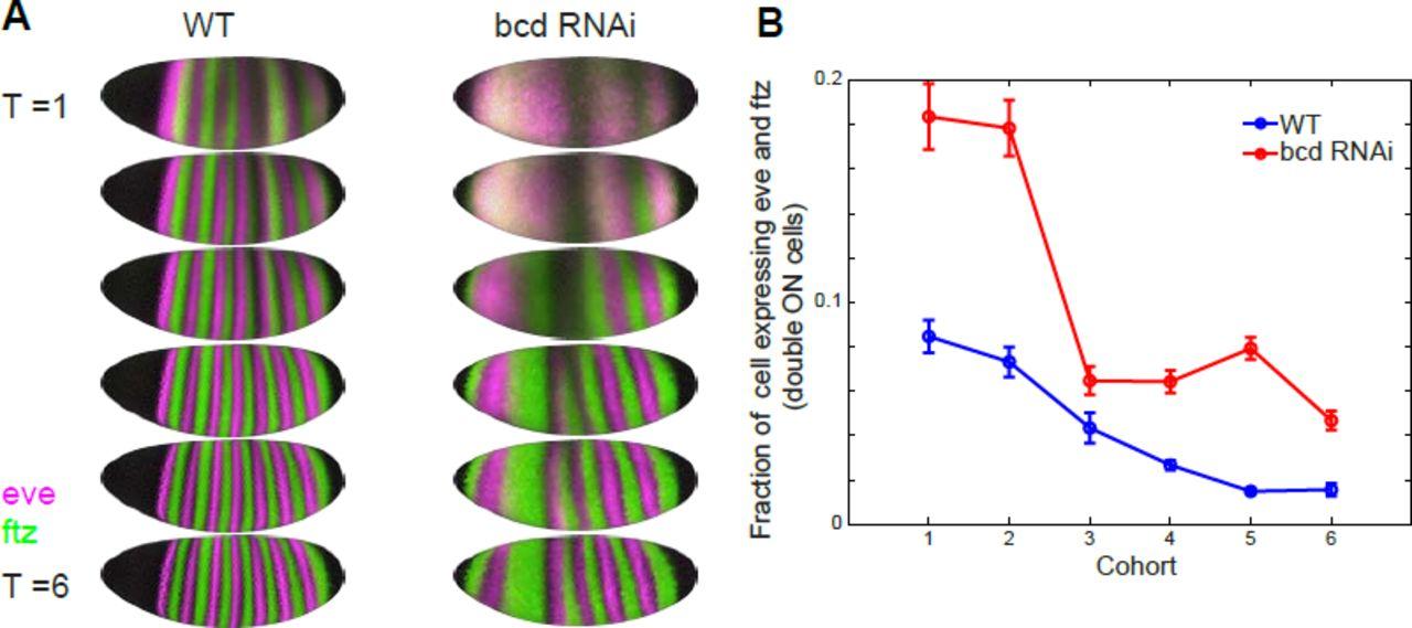 Gene Expression Patterns May Underlie >> A Gene Expression Atlas Of A Bicoid Depleted Drosophila Embryo