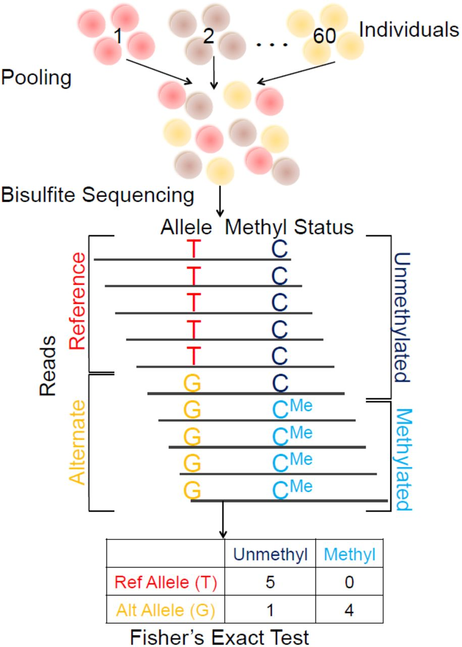 A pooling-based approach to mapping genetic variants associated with