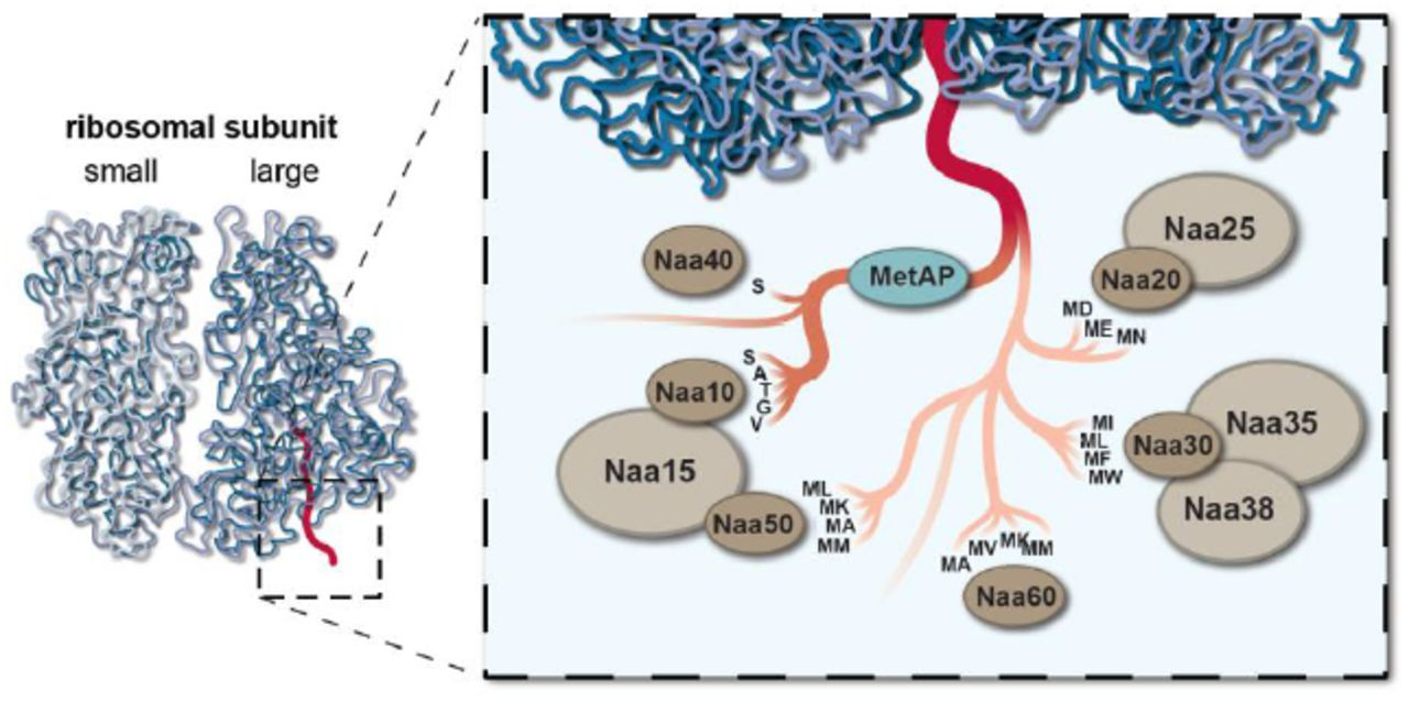 The biological functions of Naa10 | bioRxiv
