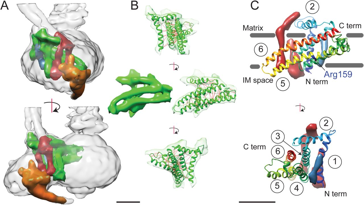 Structure and conformational states of the bovine mitochondrial ATP