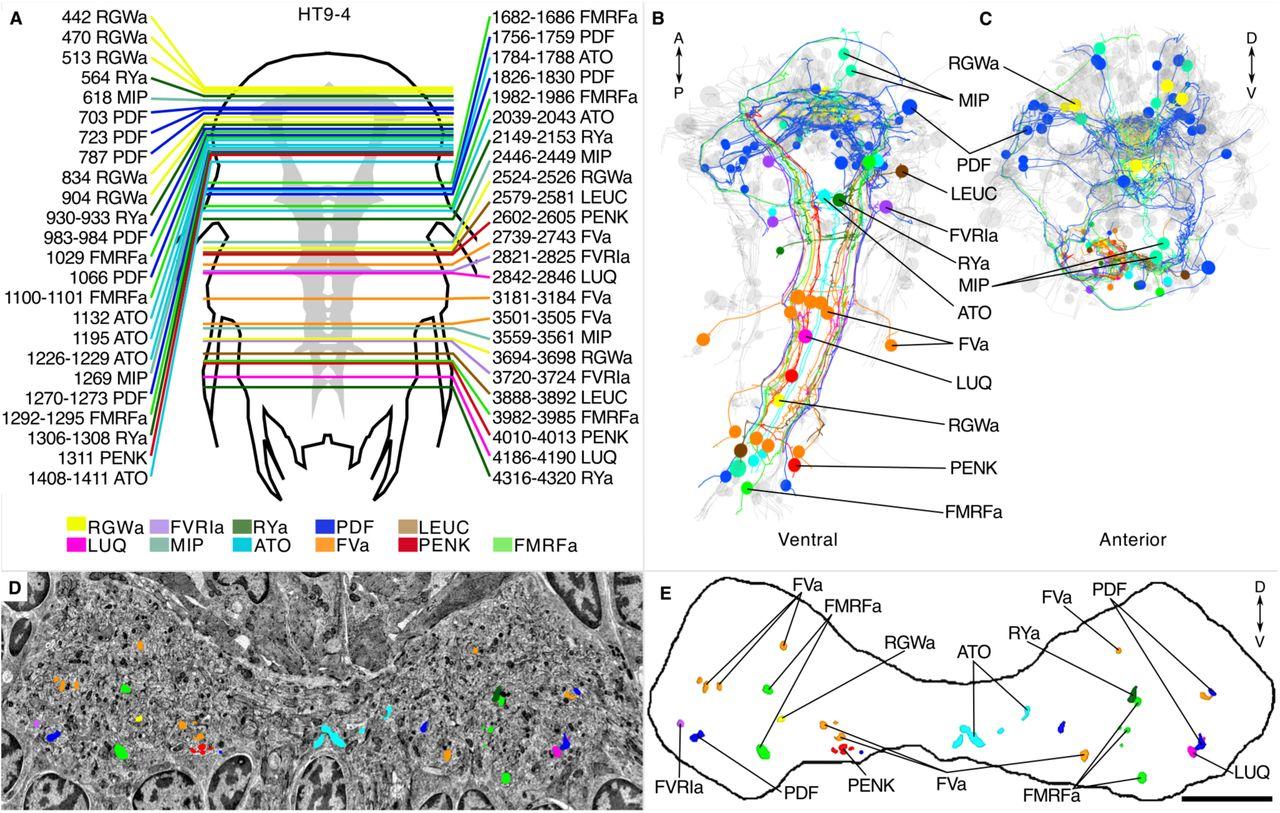 siGOLD: a Serial Multiplex Immunogold Labeling Method for