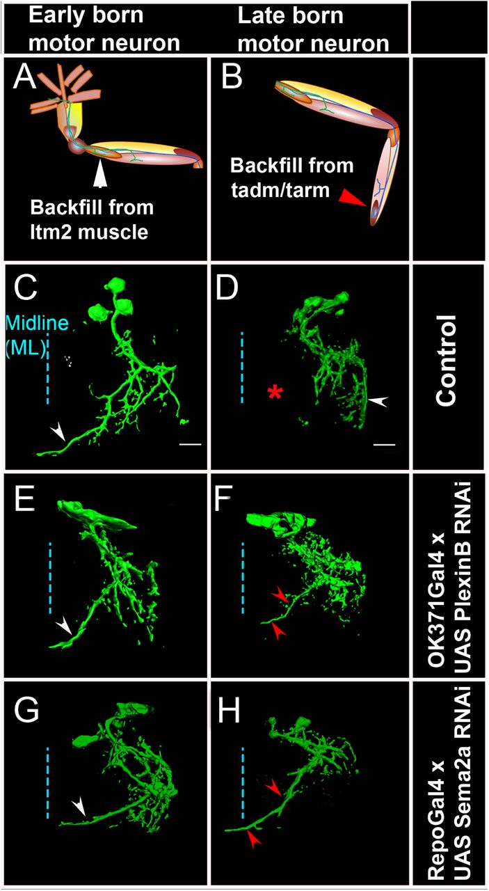 Glial and neuronal Semaphorin signaling instruct the