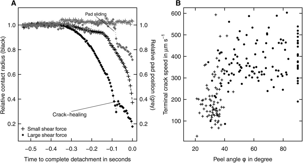 Biomechanics of shear-sensitive adhesion in climbing animals