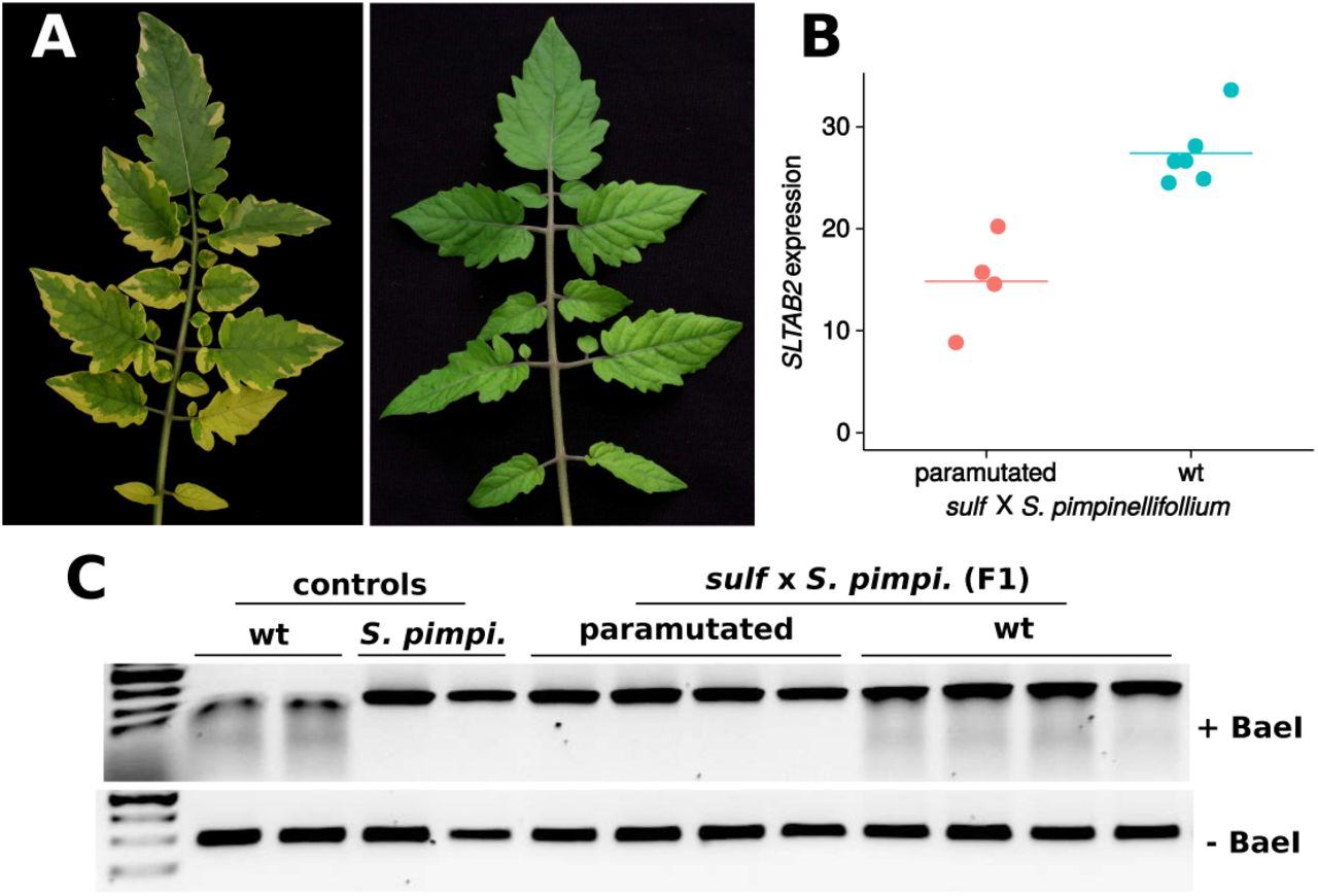 SLTAB2 is the paramutated SULFUREA locus in tomato | bioRxiv
