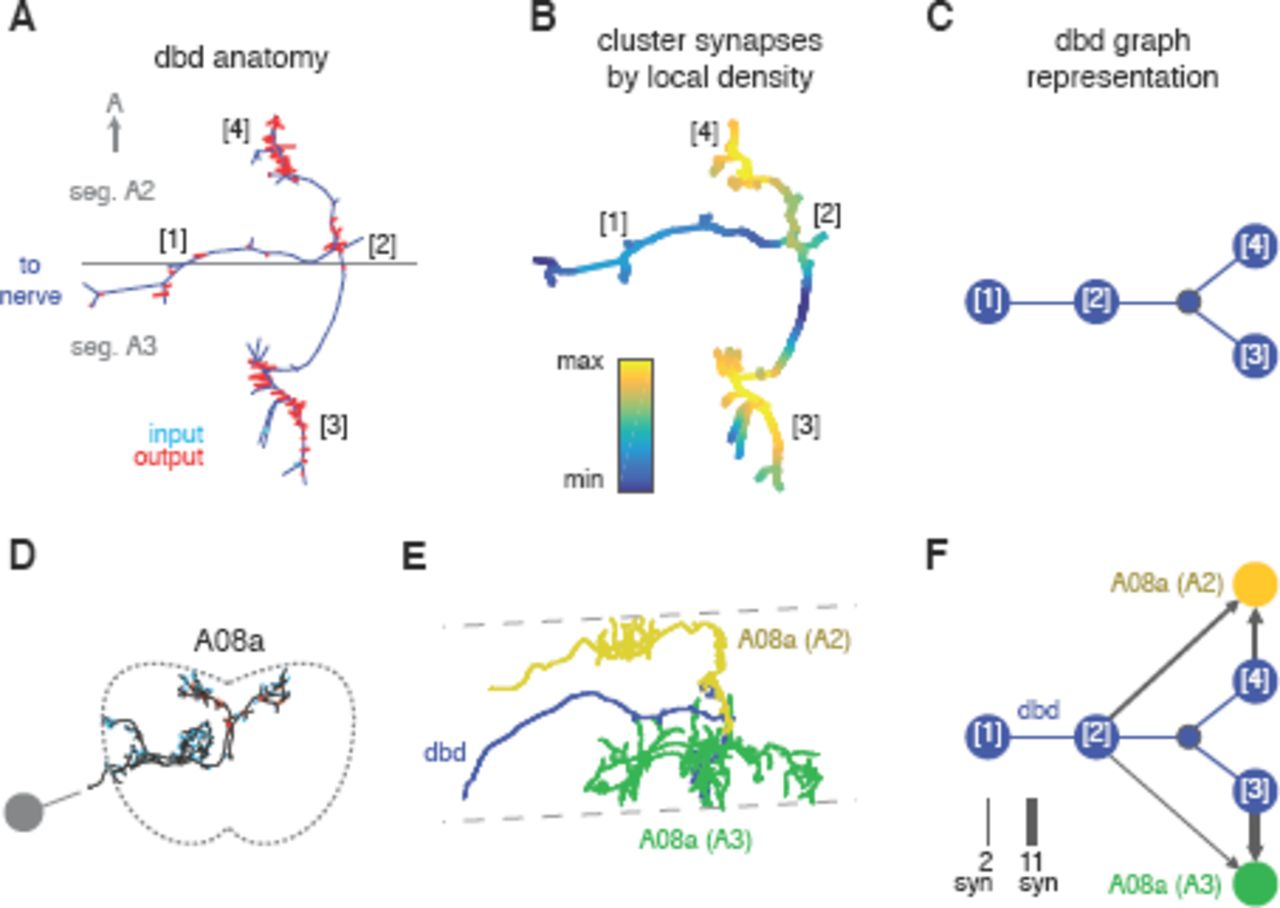 Quantitative neuroanatomy for connectomics in Drosophila | bioRxiv