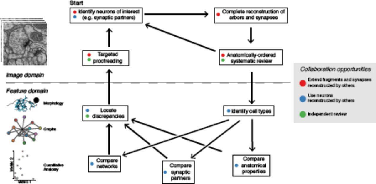 Quantitative neuroanatomy for connectomics in Drosophila | bioRxiv