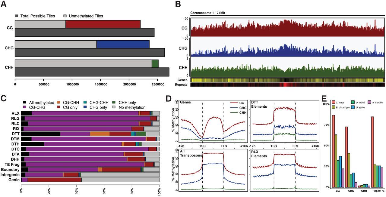 DNA Methylation profiles of diverse Brachypodium distachyon