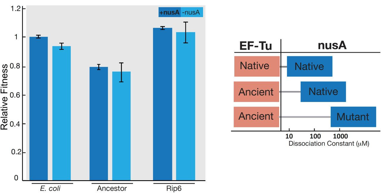 Experimental evolution of modern Escherichia coli harboring an