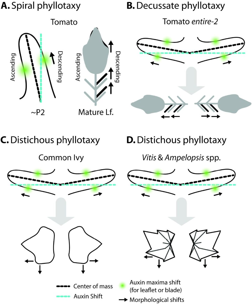 Left-right leaf asymmetry in decussate and distichous