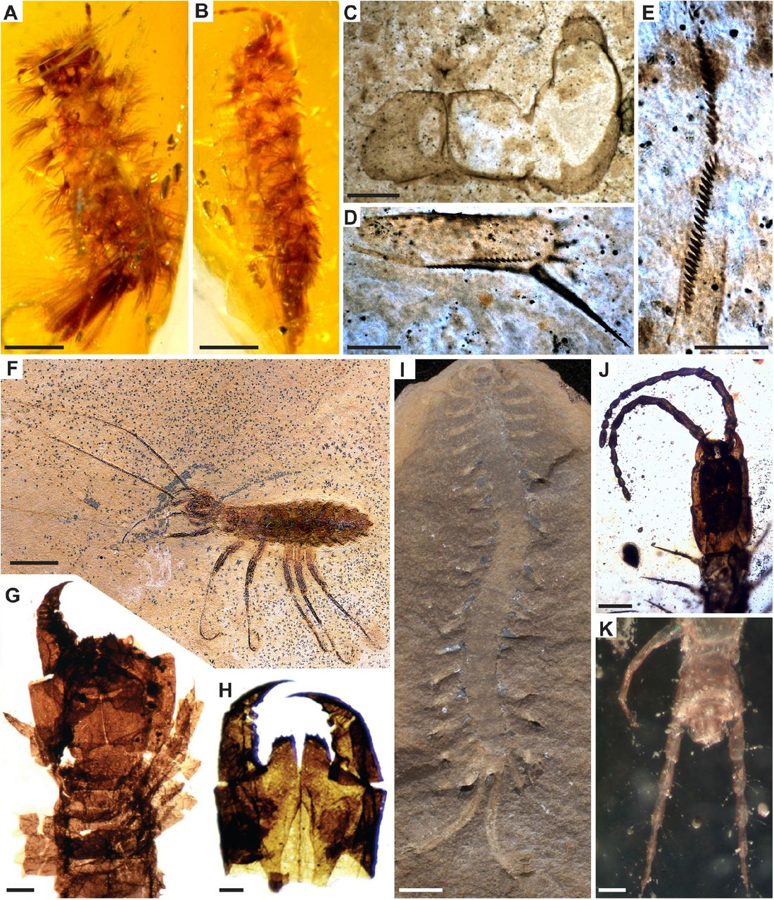 Fossil calibrations for the arthropod Tree of Life | bioRxiv