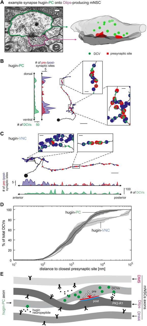 Synaptic Transmission Parallels Neuromodulation in a Central
