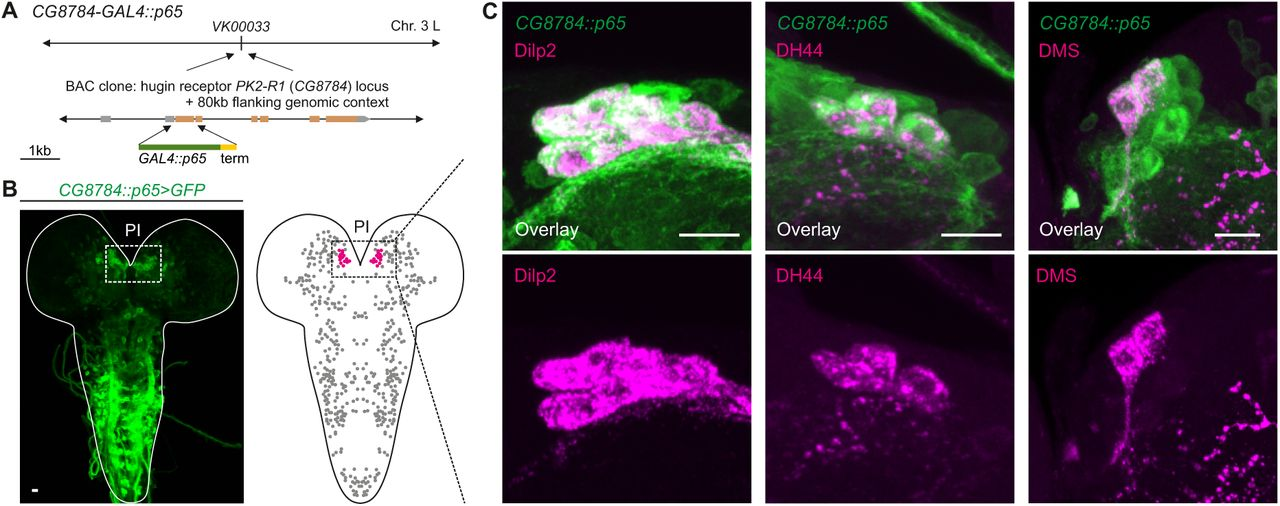 Synaptic Transmission Parallels Neuromodulation in a Central Food