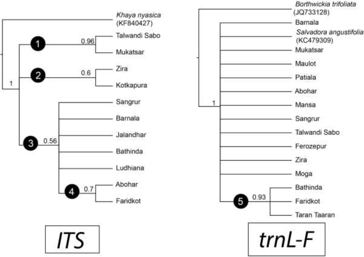 A Surprising Family Legacy Molecular >> Nuclear And Plastid Dna Sequence Based Molecular Phylogeography Of