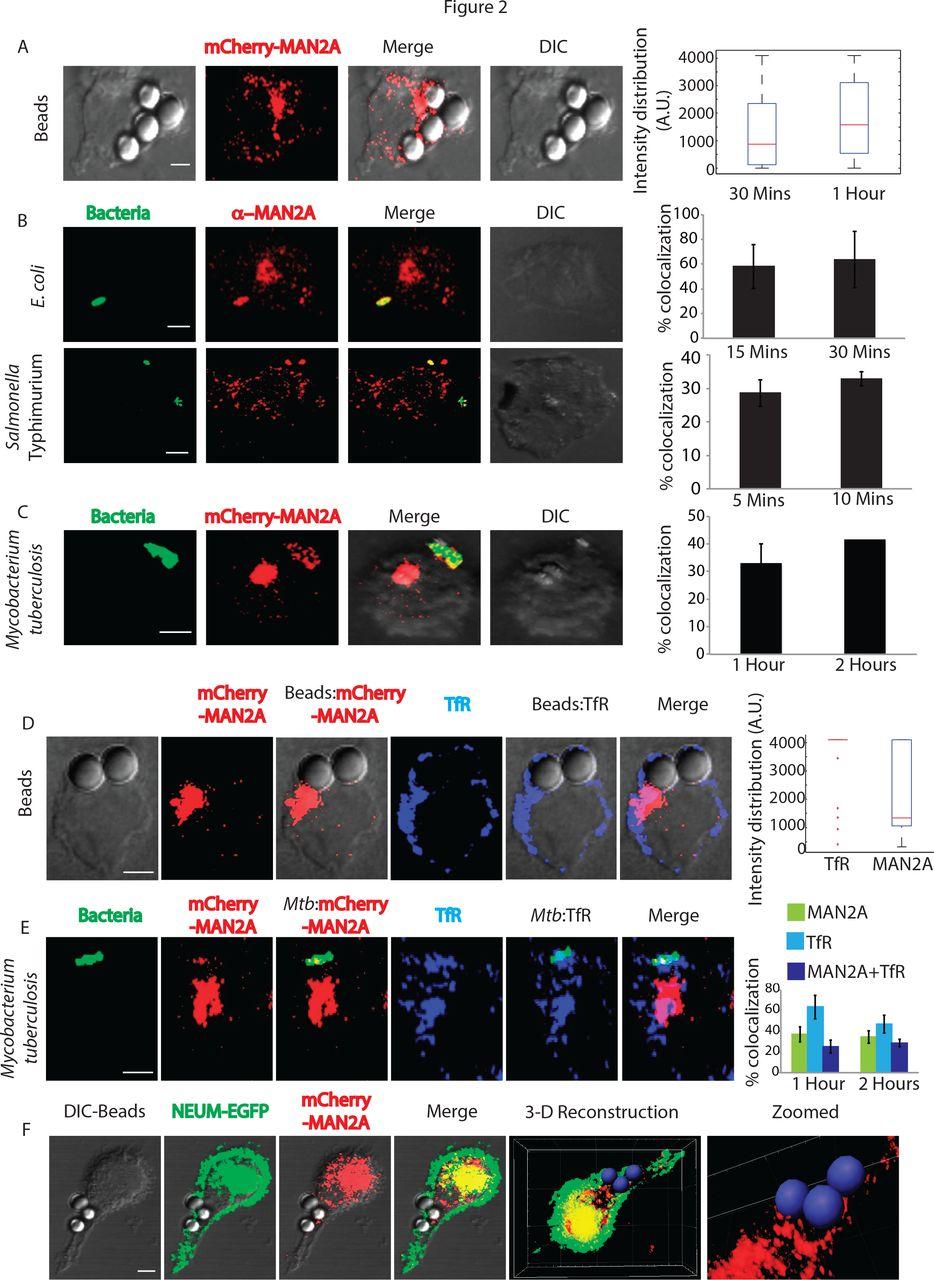 NCS1 Regulates Ca2+-Dependent Focal Exocytosis of Golgi
