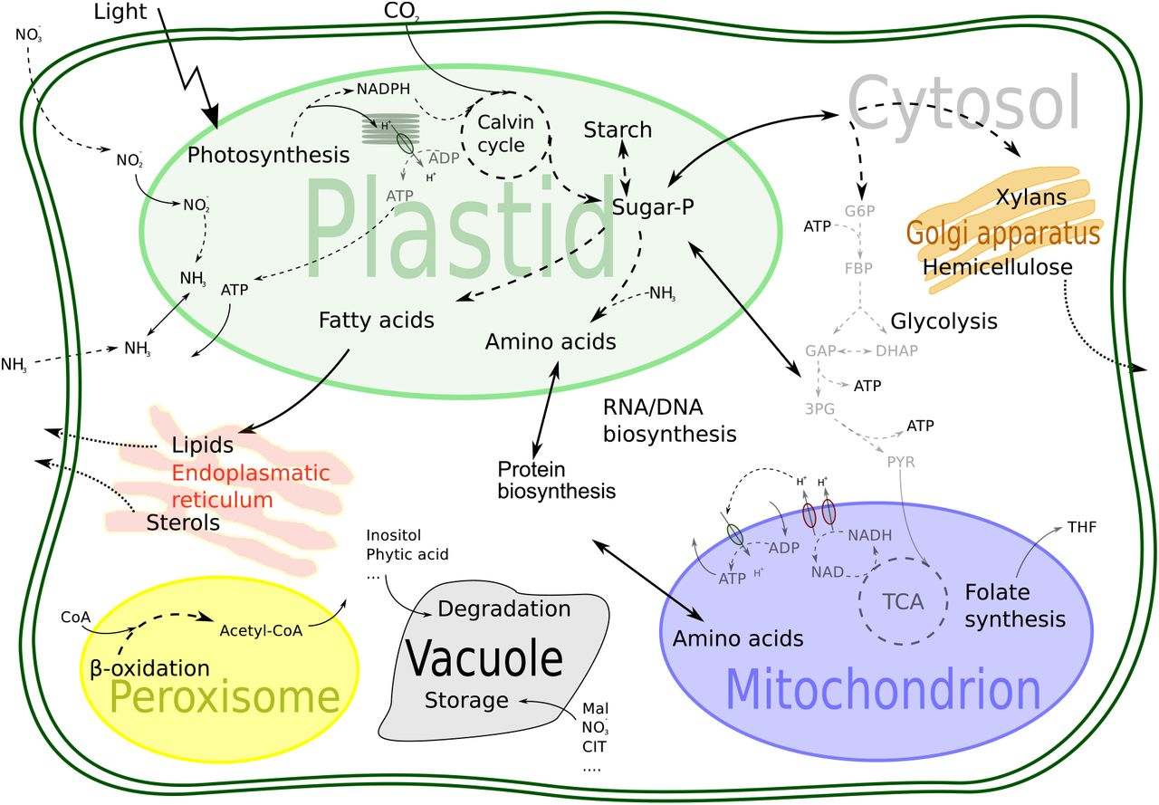 The intertwined metabolism of Medicago truncatula and its