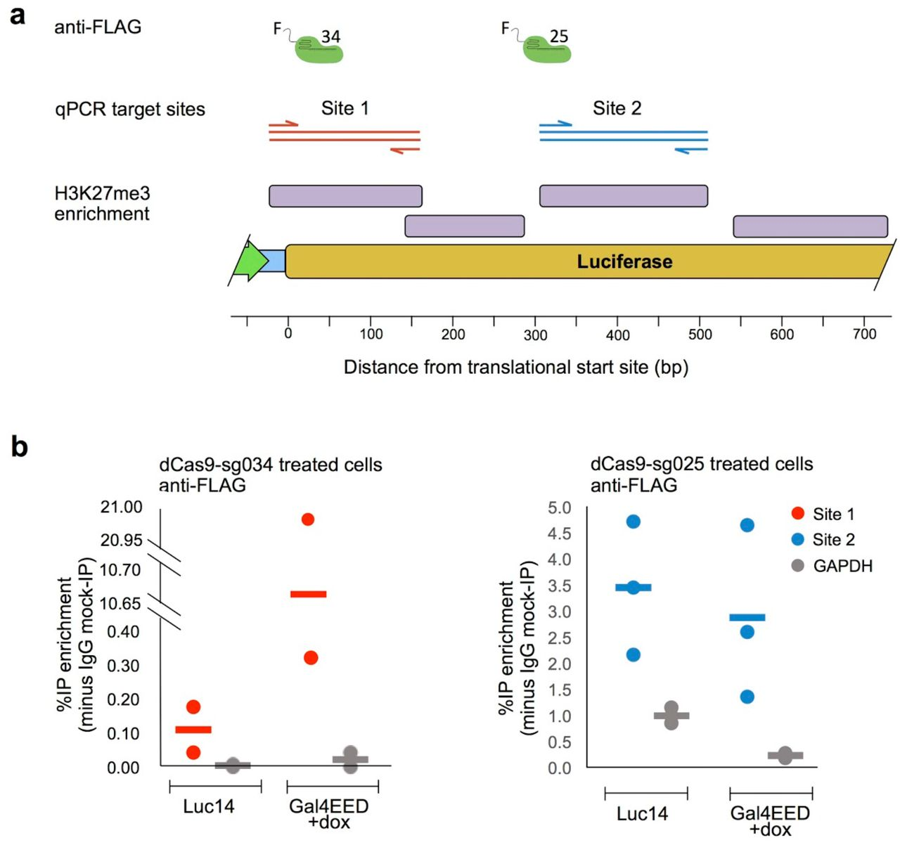 Dynamic regulatory states impact Cas9-mediated editing at the luciferase transgene. (a) Illustration of the luciferase transgene in the basal expression state and in different, artificially-regulated states. (b) Background-subtracted Luciferase expression levels per cell were measured 96 hours after dox treatment (GAL4EED +dox), immediately before transfection with Gal4-p65 plasmid DNA (+p65), or mock-transfection (vehicle only). Luciferase expression was measured in siRNA-treated cells 336 hours after transfection. a.u.: arbitrary units. (c) Editing efficiency for Cas9/sg034 was determined by SURVEYOR assays. Editing was reduced in the hyperactive expression state (Luc14 +p65) compared to the Luc14 basal state (*p = 0.018) and the GAL4EED partially repressed state (*p = 0.004). Reversal of the closed state via siRNA treatment (GAL4EED +dox +siRNA) was accompanied by an increase in luciferase expression and editing efficiency (p = 0.045) compared to the fully repressed state. Editing efficiencies for Luc14, GAL4EED, and GAL4EED +dox shown here are the same data shown in Figure 3c .