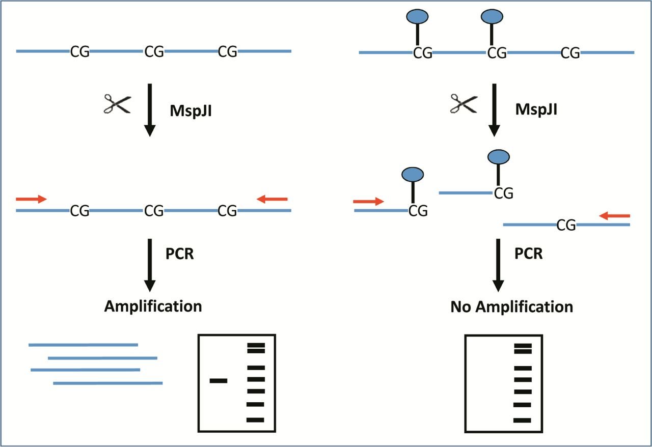 Schematic representation of the experimental design. Genomic DNA is treated with MspJI. If DNA molecules are non-methylated (left), template remains intact and can be amplified by PCR. If DNA is methylated (right), MspJI degrades template and weaker or no amplification take place. Partial methylation can be better detected by qPCR as a shift in Cq values.