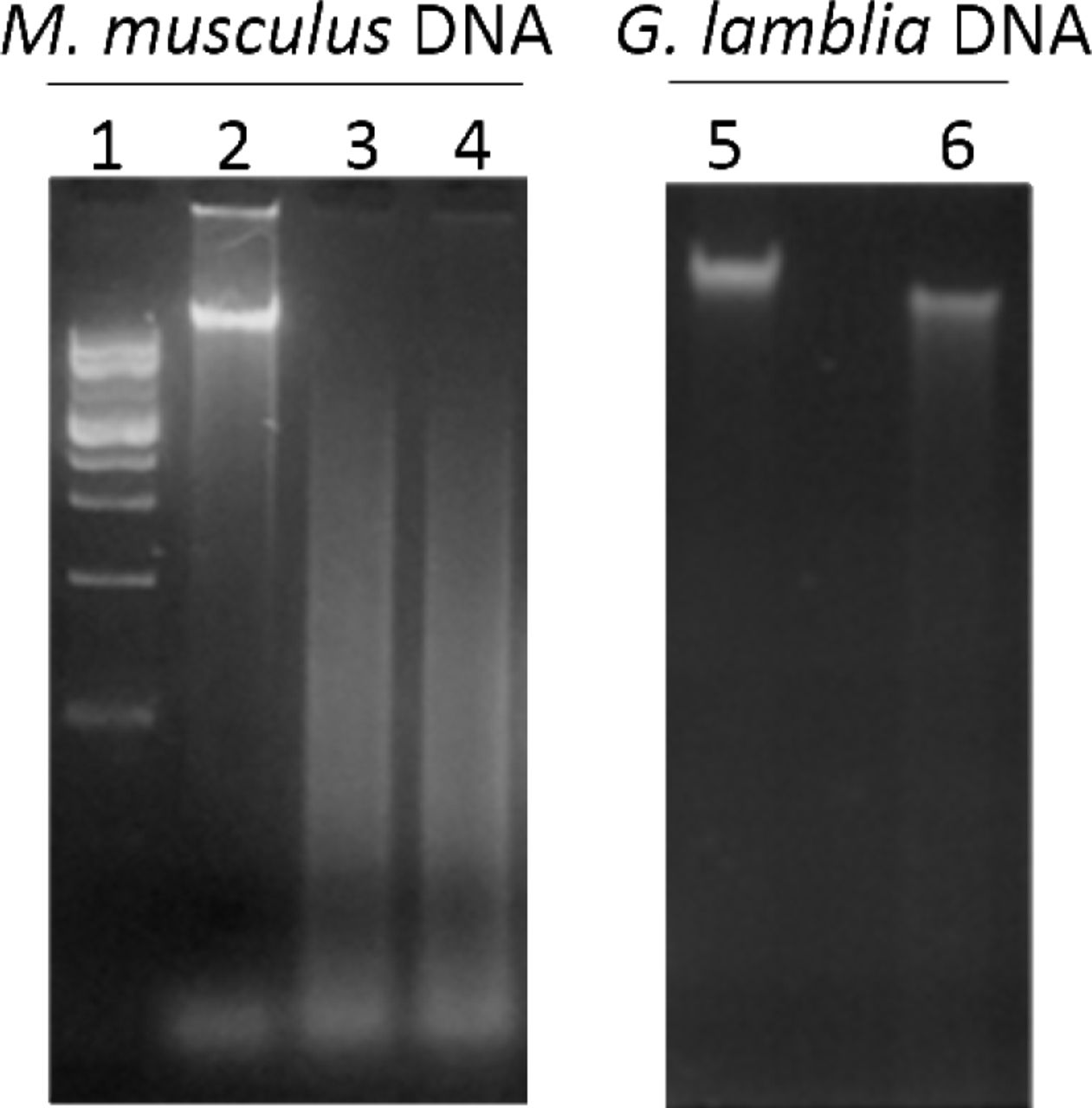 Electrophoresis of genomic DNA from M. musculus or G. lamblia digested with MspJI. Lane 1: 1kb DNA ladder; lane 2 and 5: undigested DNA; lanes 3 and 6: DNA incubated with MspJI for 4 hs; lane 4: DNA incubated with MspJI for 8 hs.