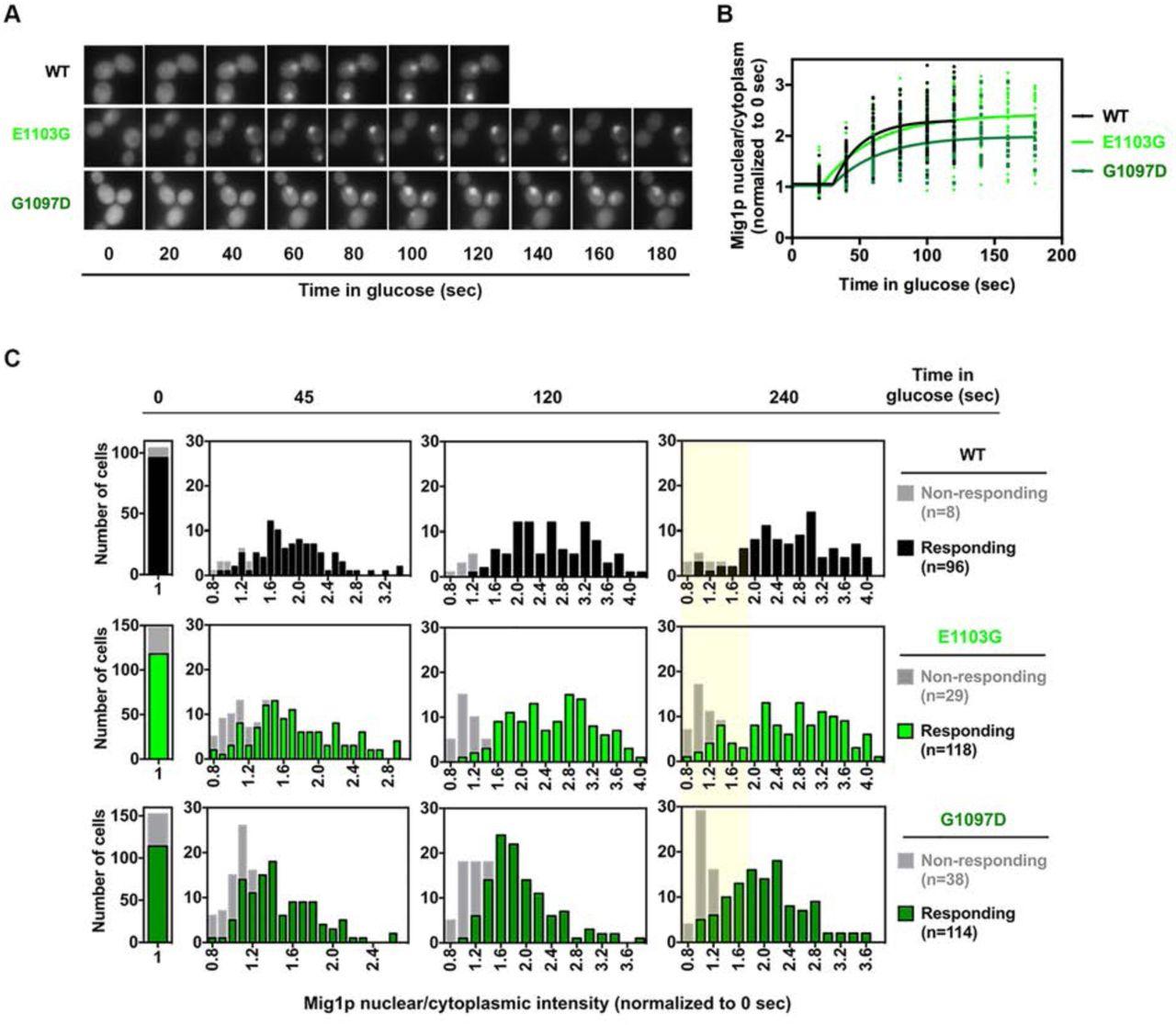 Effects of Pol II catalytic mutants on in vivo elongation rate
