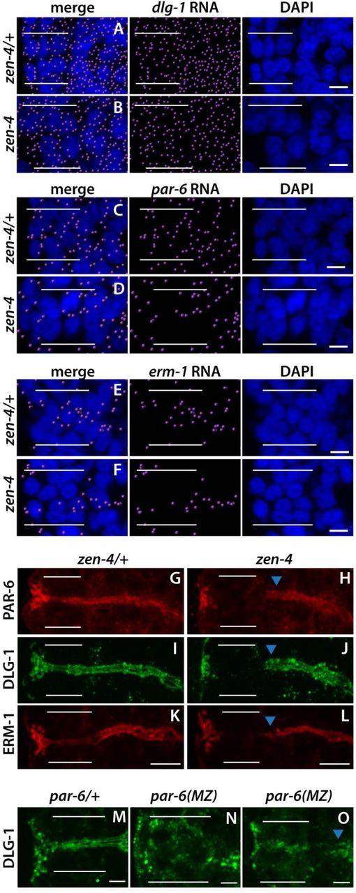 Temporal regulation of epithelium formation | bioRxiv