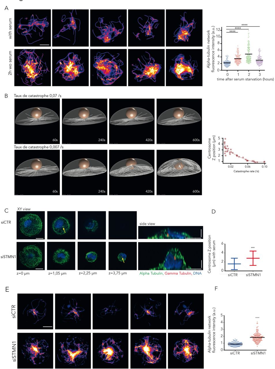 Microtubule stabilization drives centrosome migration to