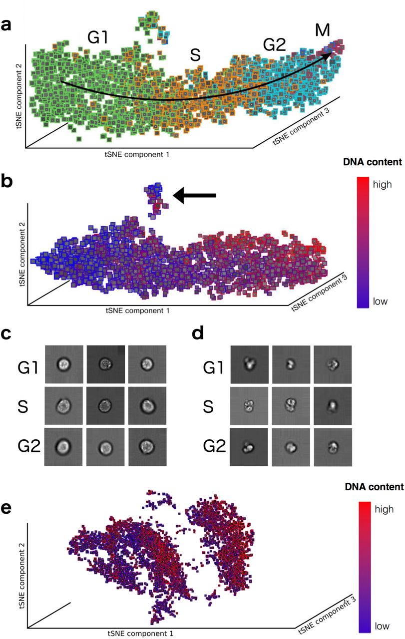 Deep Learning for Imaging Flow Cytometry: Cell Cycle Analysis of