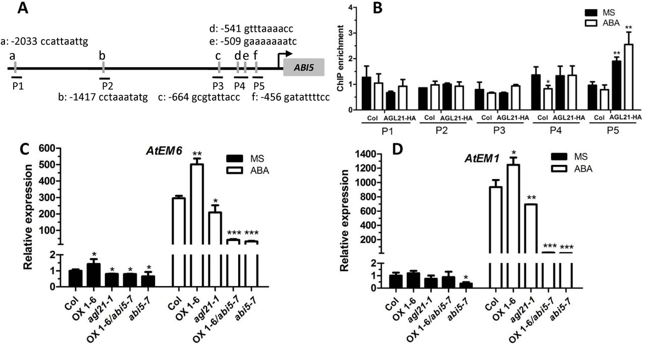 Arabidopsis MADS-box transcription factor AGL21 acts as