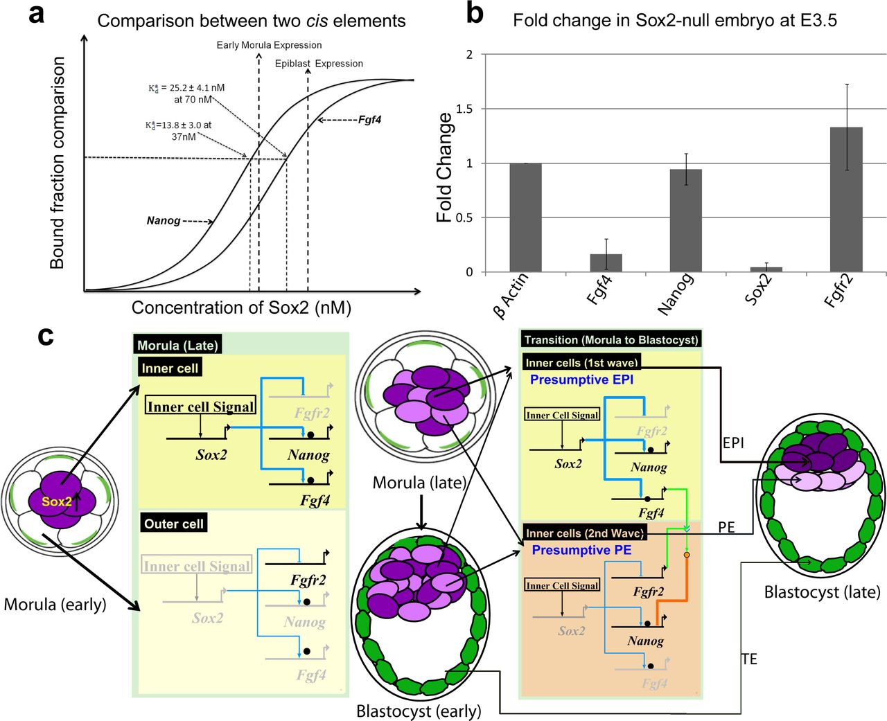 Dynamic changes in Sox2 spatio-temporal expression direct
