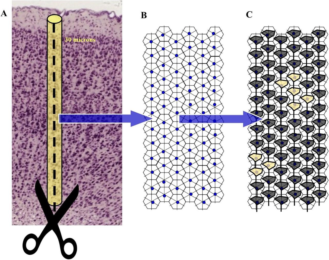 Neuronal Barcodes Shape Complex Networks In The Brain >> Cracking The Barcodes Of Fullerene Like Cortical Microcolumns Biorxiv