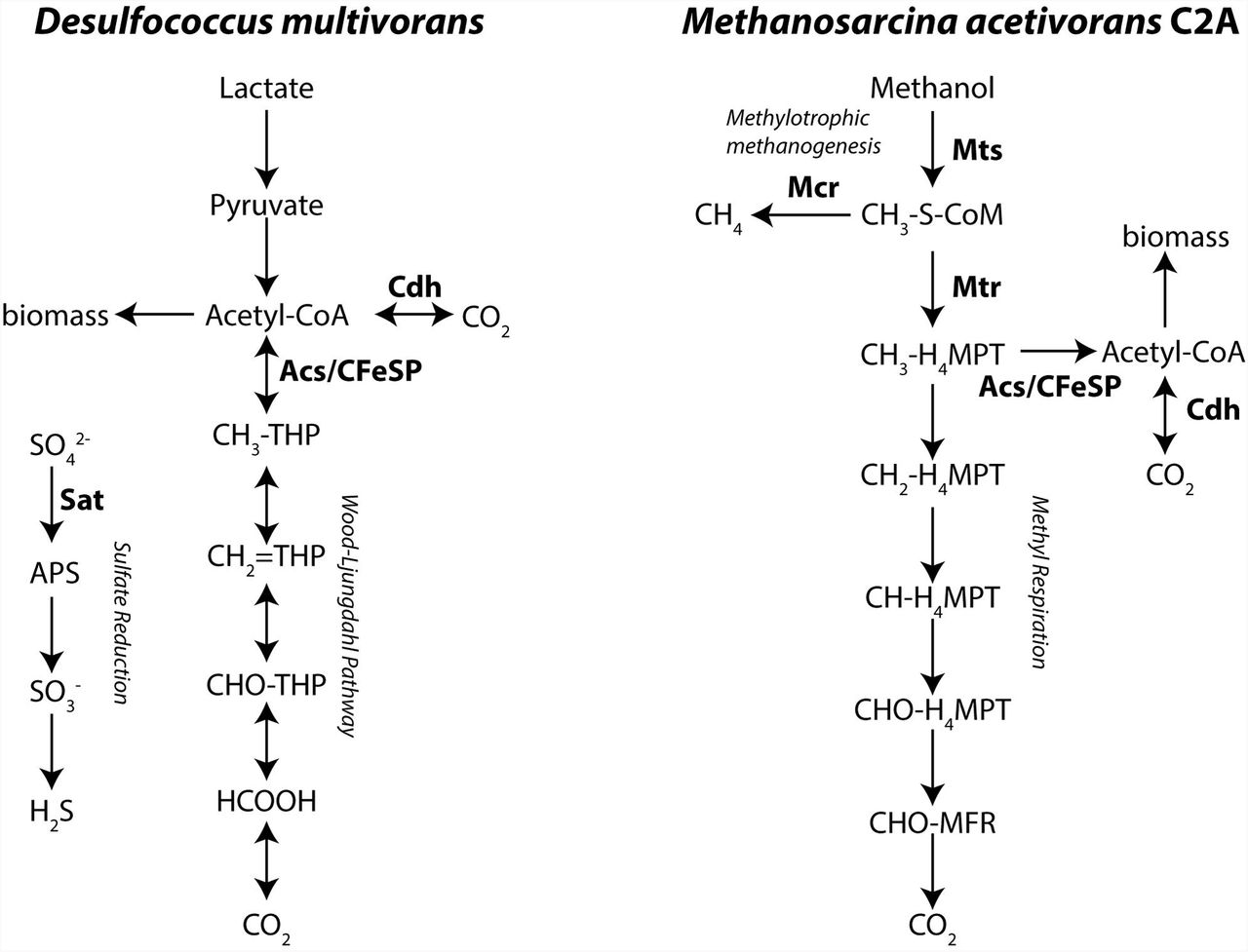 Cobalt enrichment in anaerobic microbial cocultures revealed