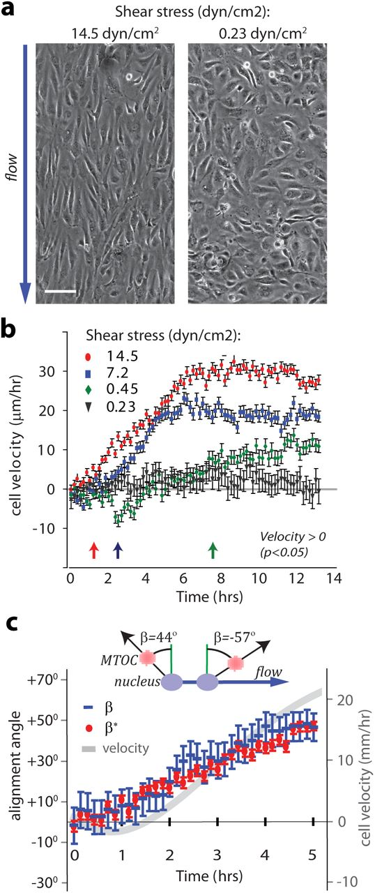 Blood Flow Directs Arterial Venous Remodeling Through Notch
