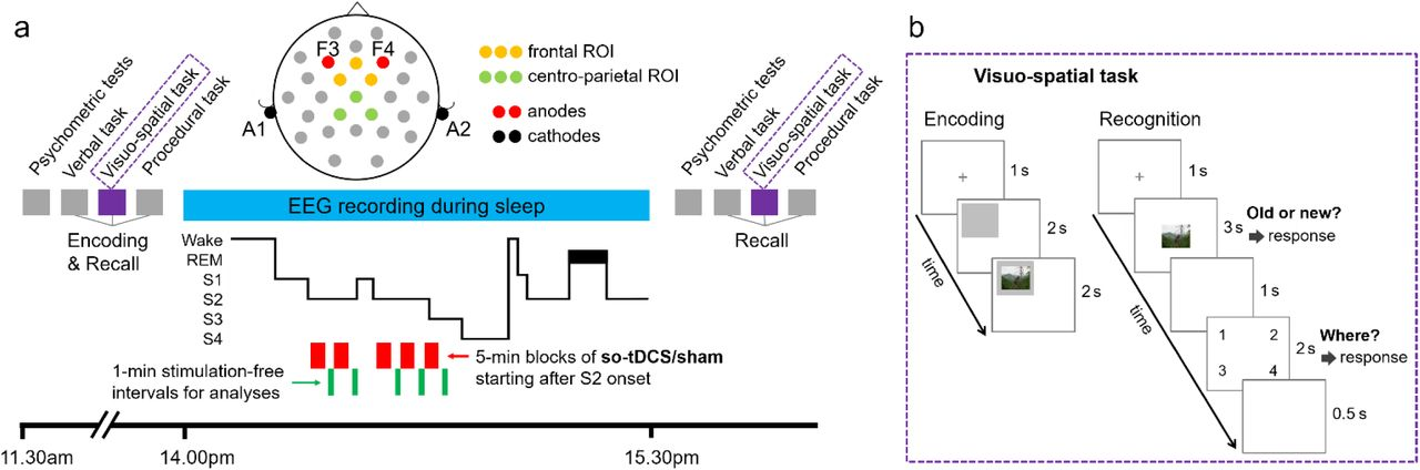 Transcranial stimulation enhances memory-relevant sleep oscillations