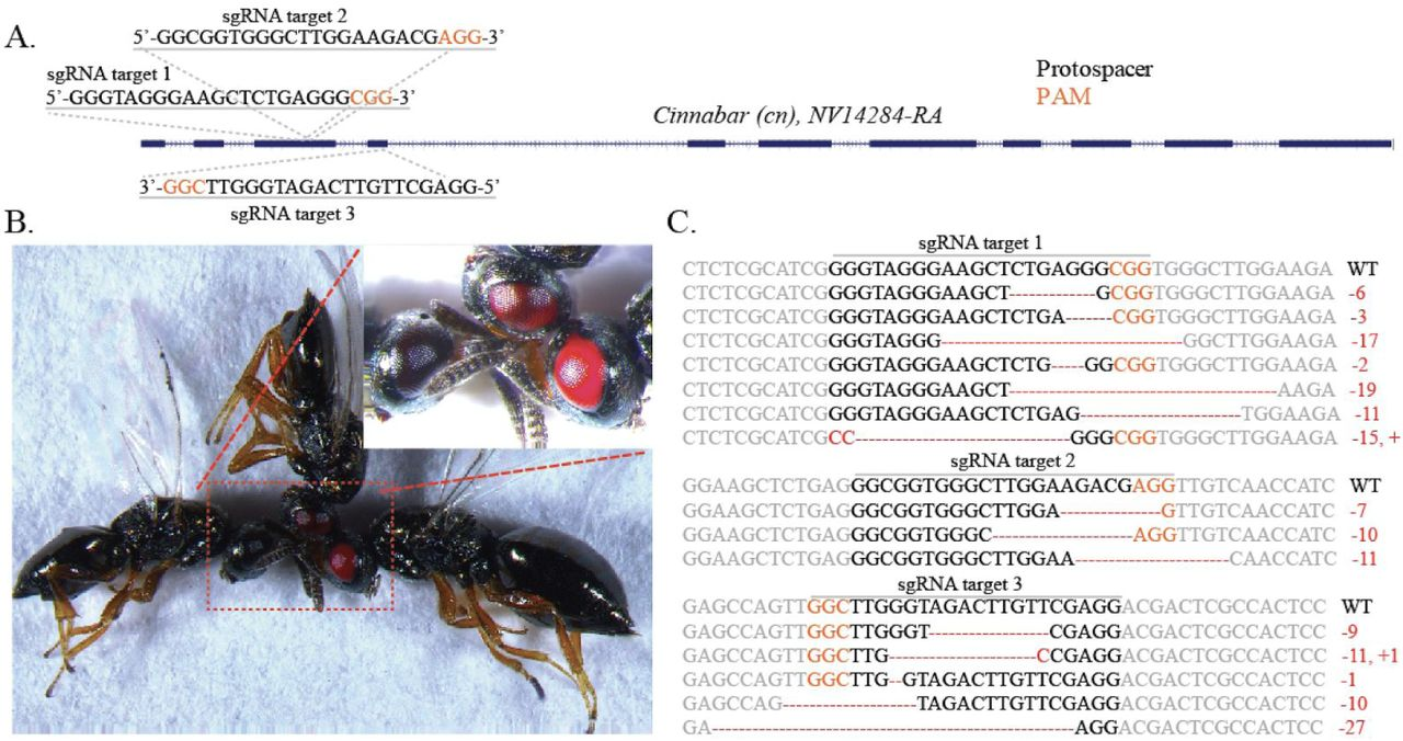 Generation of heritable germline mutations in the jewel wasp