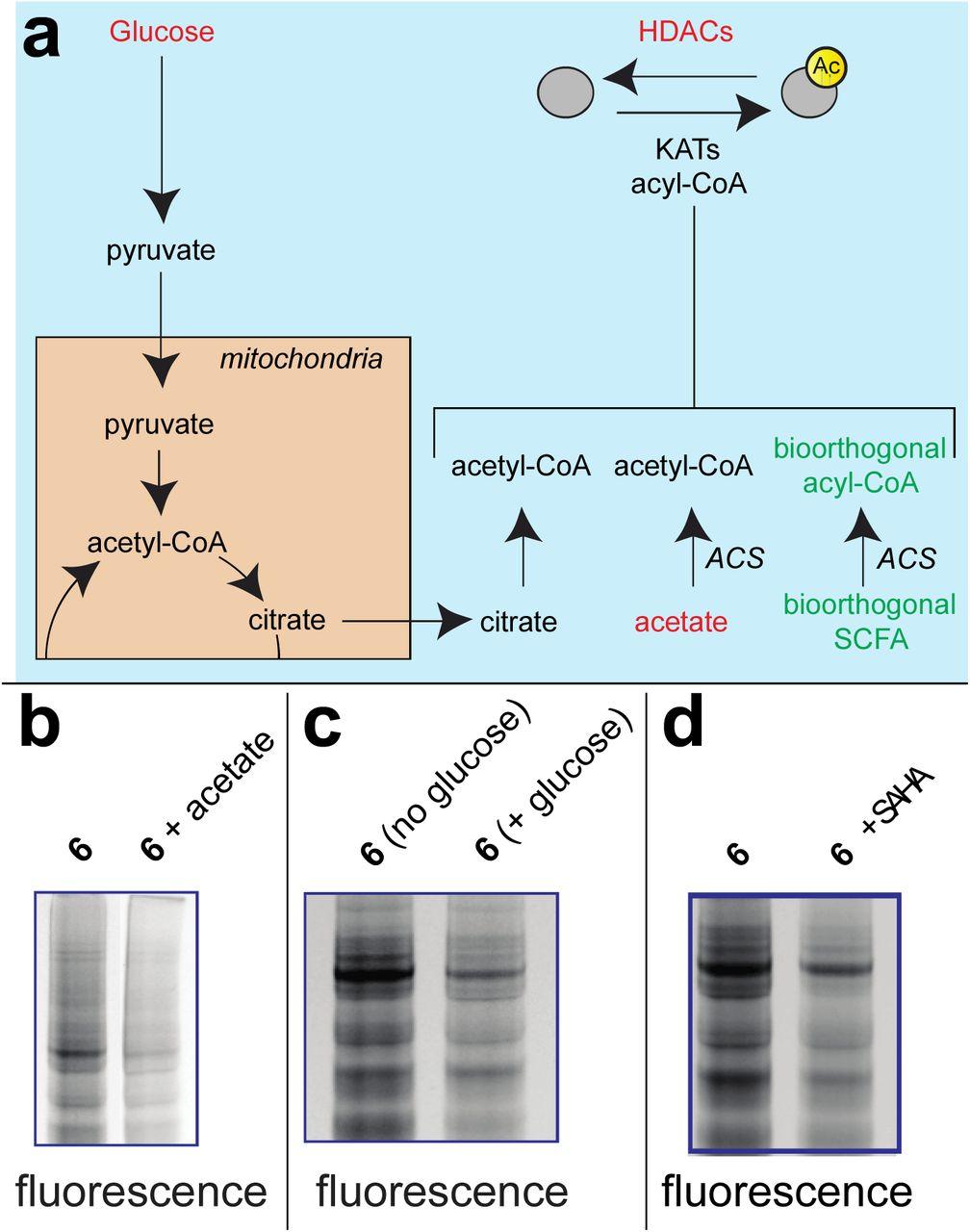 Bioorthogonal pro-metabolites for profiling short chain