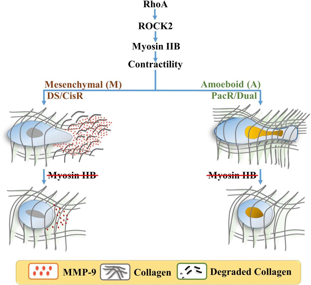 Soft drug-resistant ovarian cancer cells invade via two