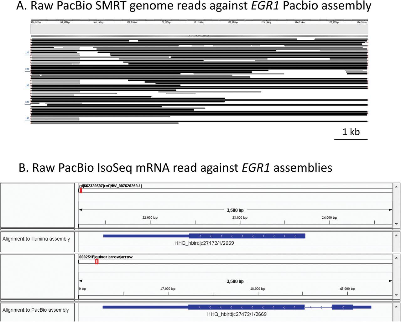 De Novo PacBio long-read and phased avian genome assemblies correct