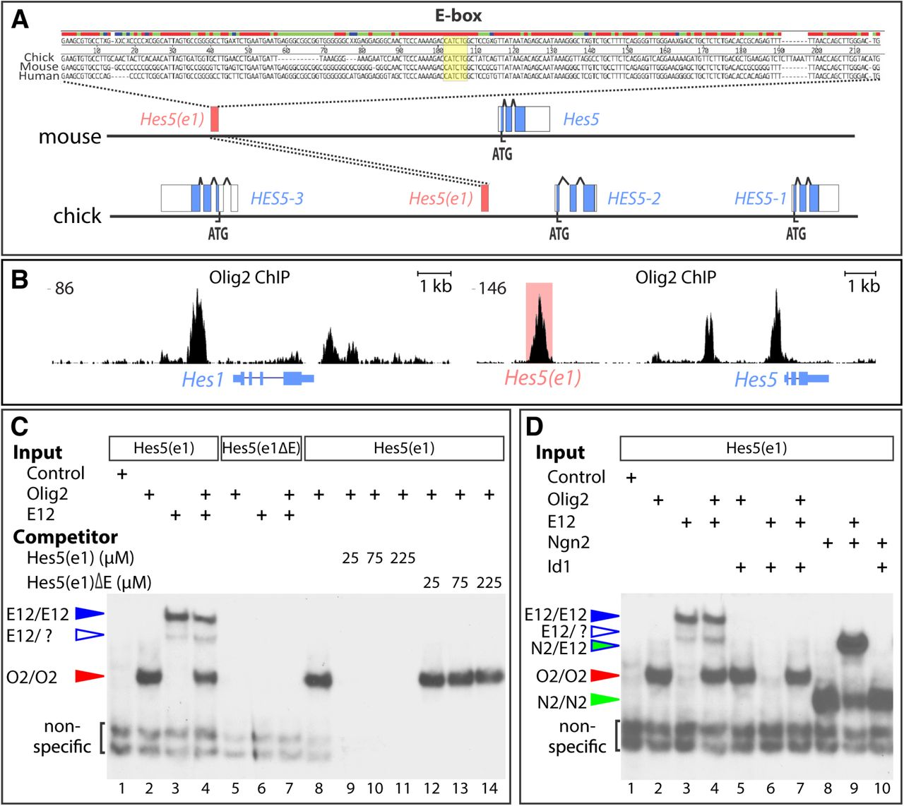 Olig2 and Hes regulatory dynamics during motor neuron