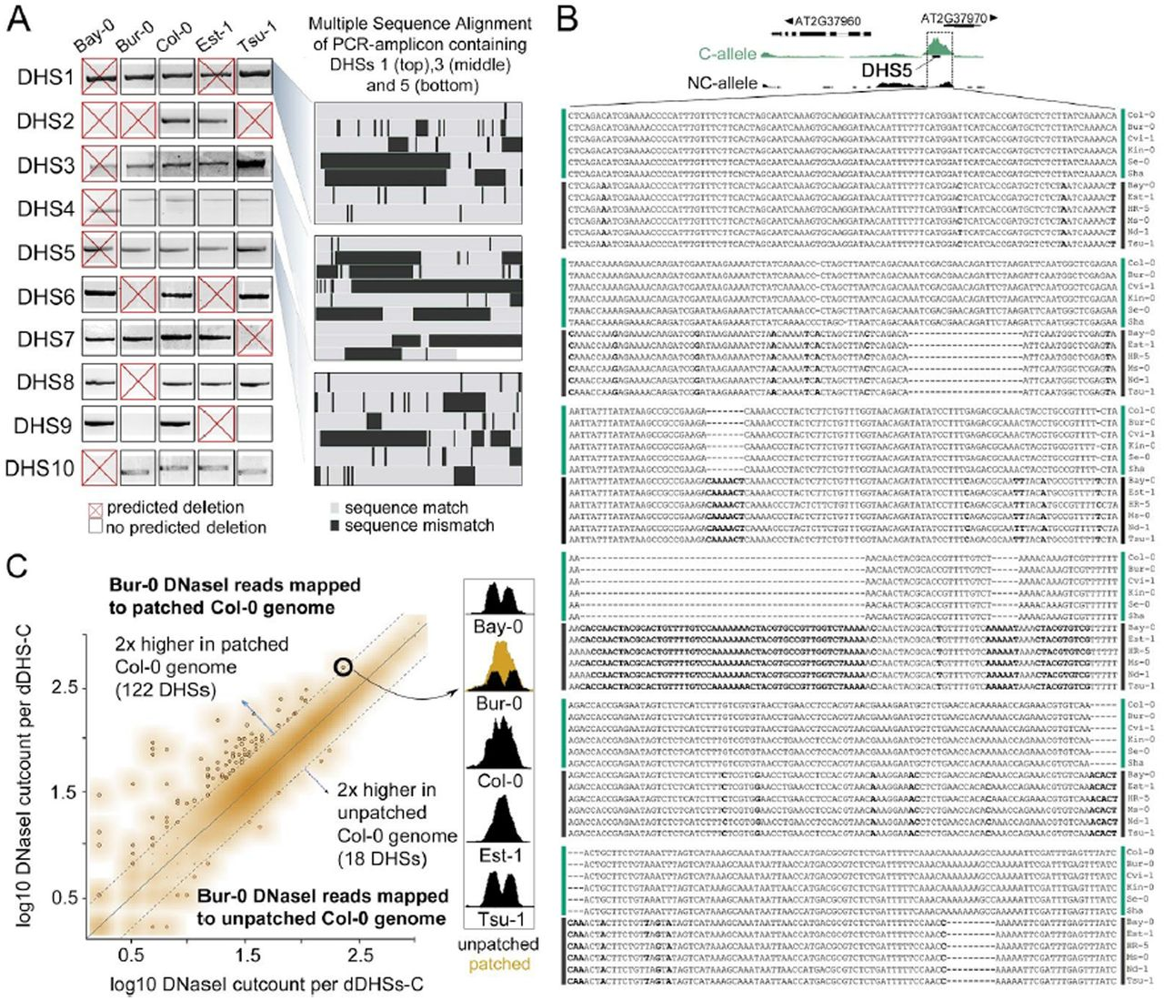 Regulatory DNA in A  thaliana can tolerate high levels of
