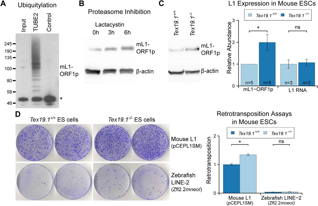 Tex19 1 Restricts LINE-1 Mobilisation in Mouse Embryonic Stem Cells