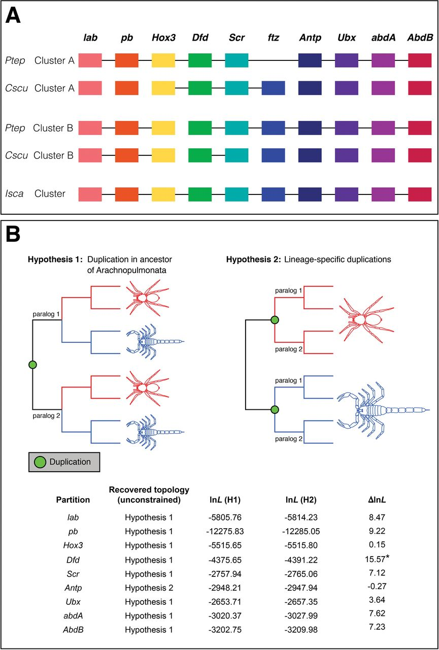 The house spider genome reveals an ancient whole-genome duplication