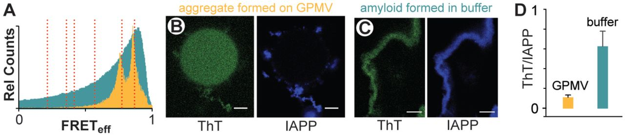 Structurally distinct oligomers of islet amyloid polypeptide mediate