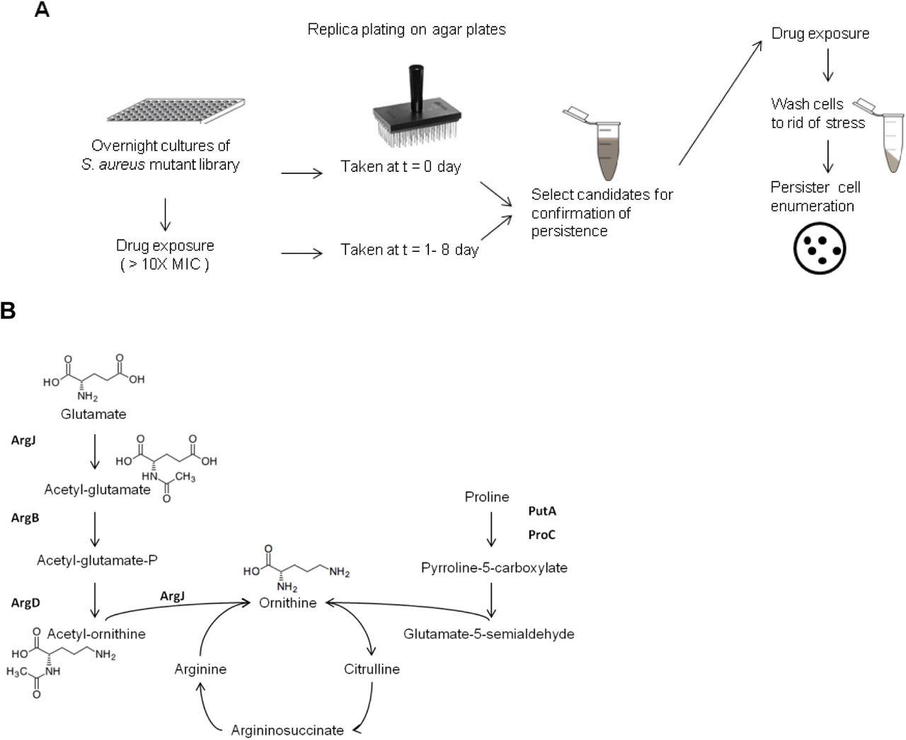 Identification of a Novel Gene argJ involved in Arginine