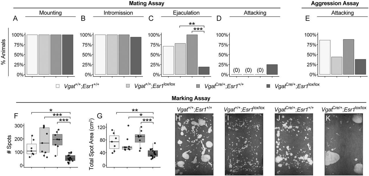 Estrogen Receptor Alpha Is Required In Gabaergic But Not