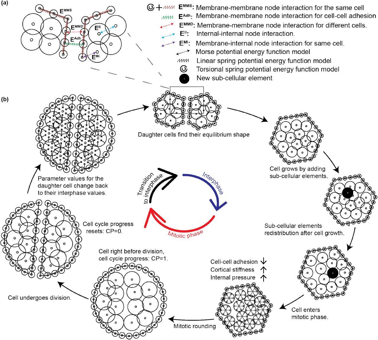 Multi-scale computational study of the mechanical regulation