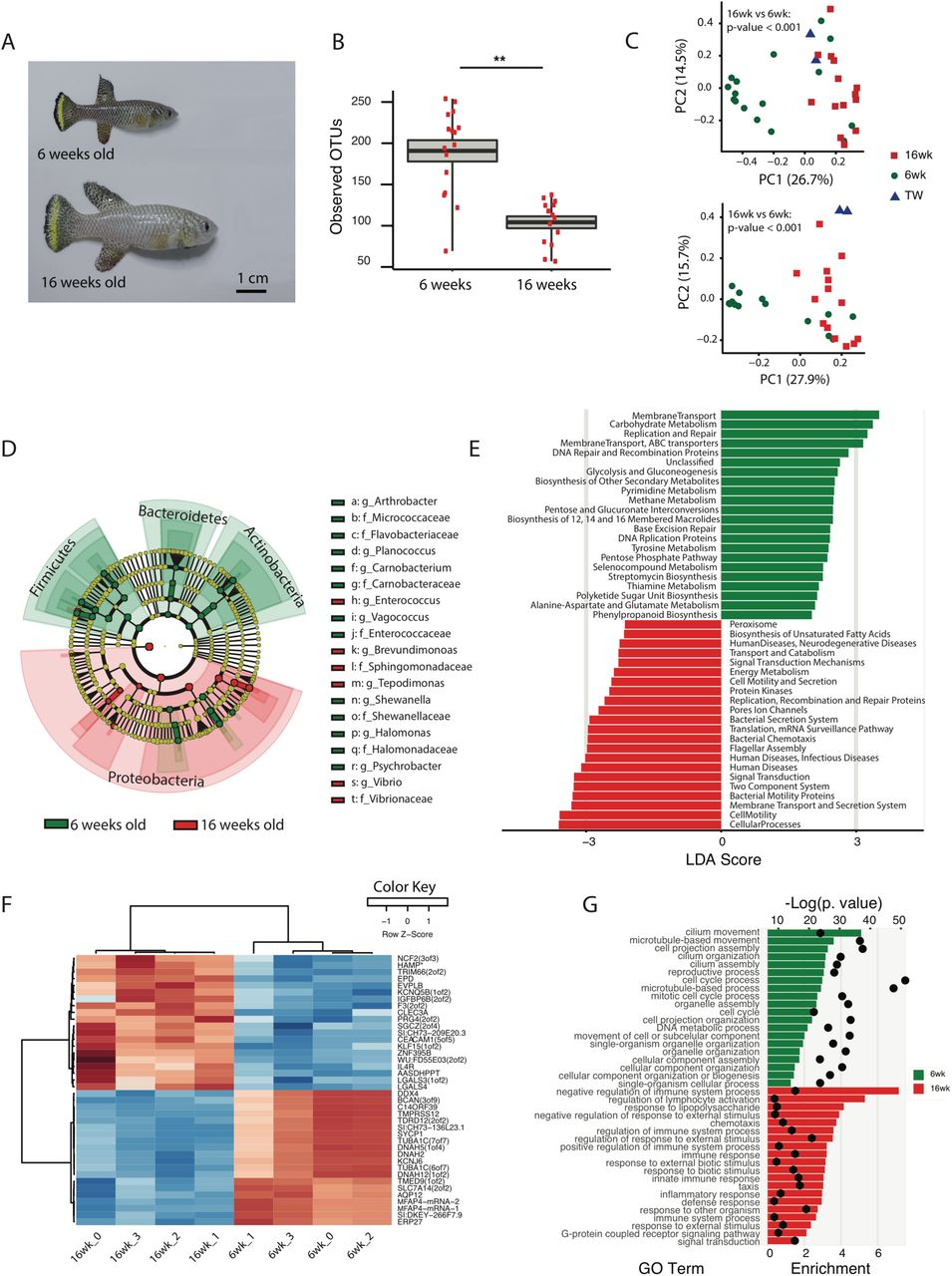 Regulation of Life Span by the Gut Microbiota in The Short-Lived