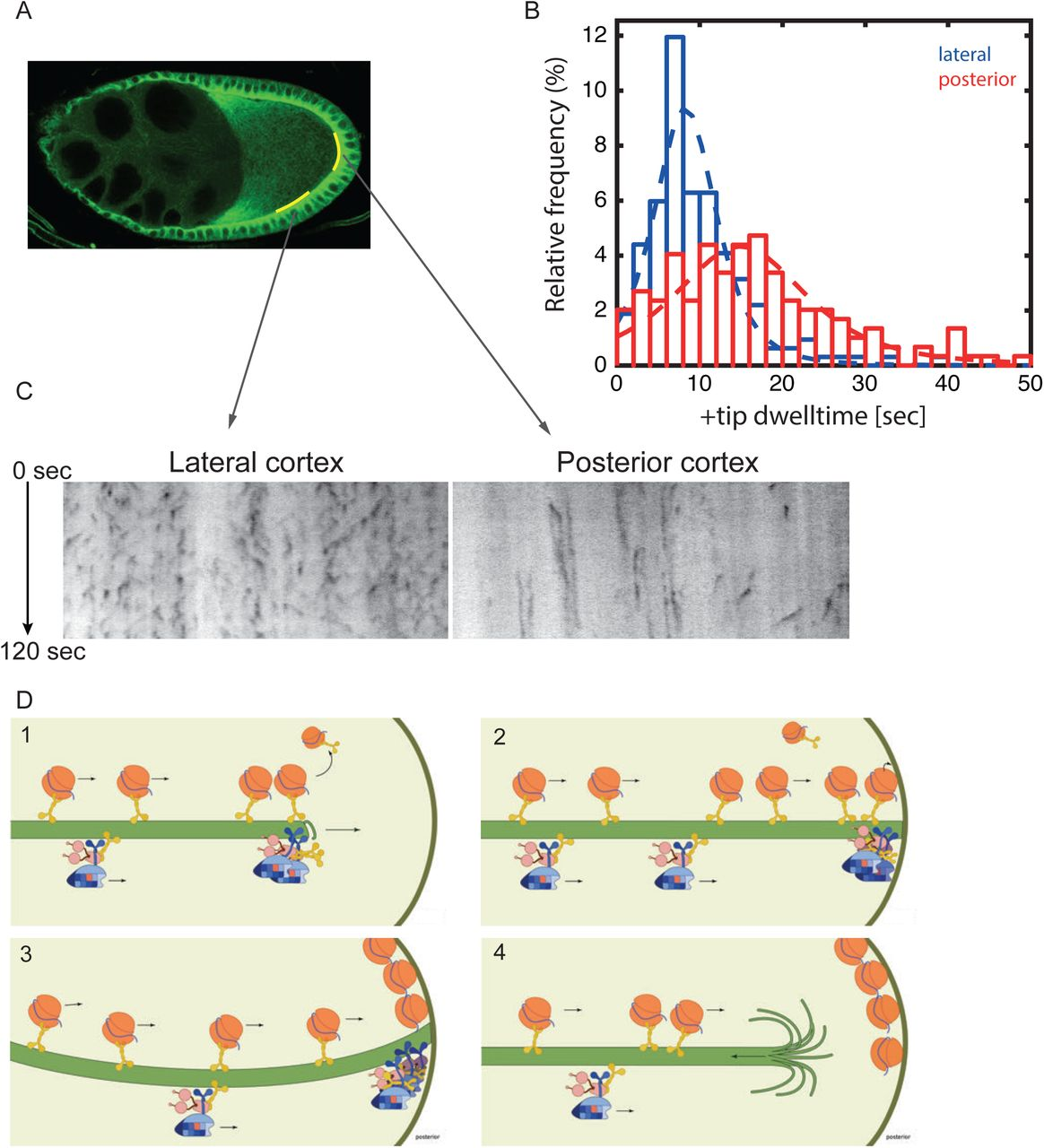 Localised Dynactin protects growing microtubules to deliver