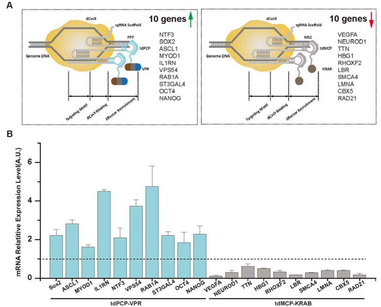 Multiplexed sgRNA Expression Allows Versatile Single Non