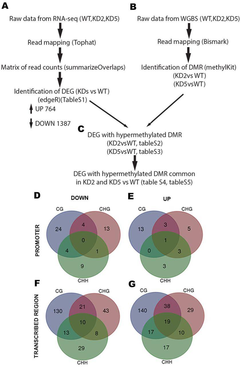 Cross-talk between active DNA demethylation, resetting of