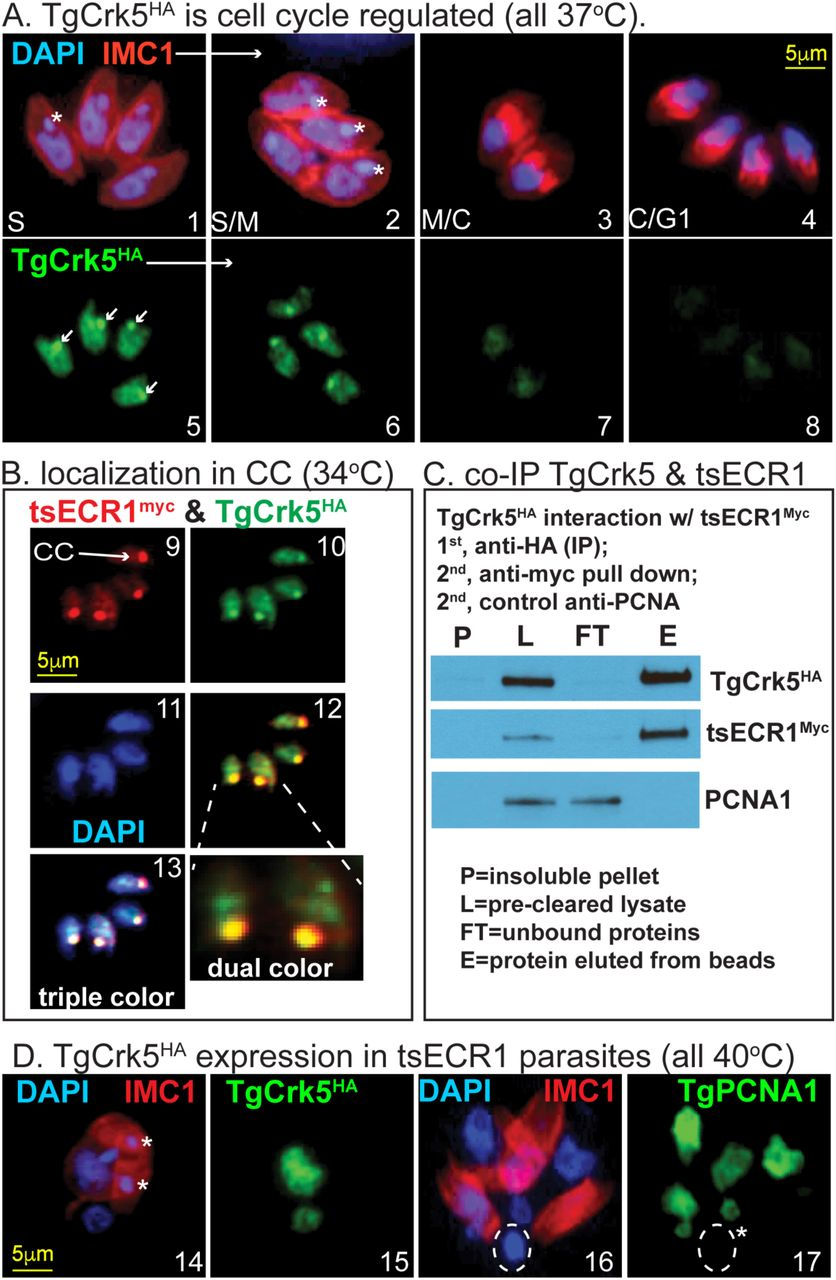 The Toxoplasma centrocone houses cell cycle regulatory