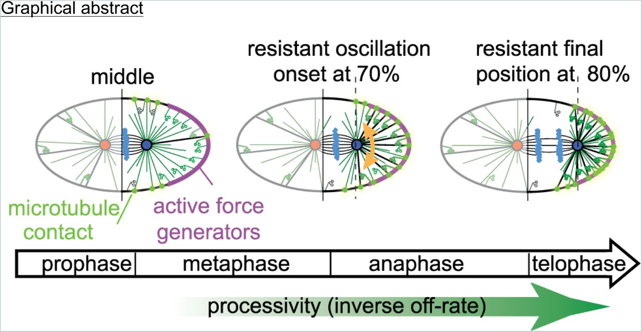 Astral microtubule dynamics regulate anaphase oscillation